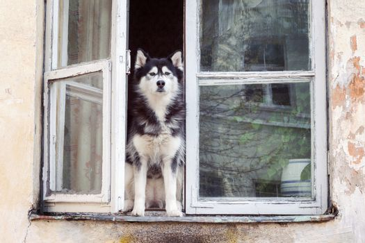Husky dog sitting at opened house window and looking straight to camera