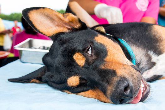 Neutering dogs and cats in World Rabies Day,Surgical sterilization of dogs, cats