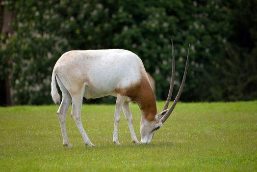 Scimitar-horned Oryx in fota wildlife park near cobh county cork ireland