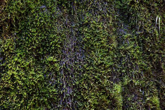 Wet green moss