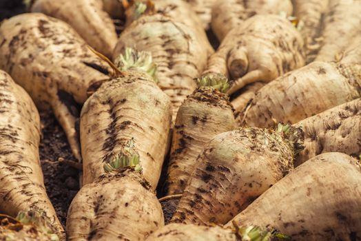 Harvested sugar beet crop root