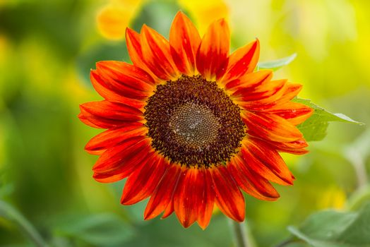 Red sunflowers blooming