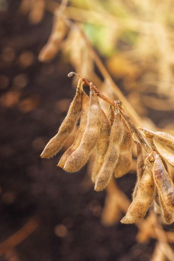 Close up of ripe soybean crop pods in cultivated field