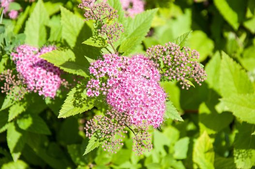 Small flowers of spiraea pink in summer day