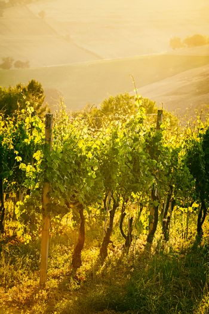 Vineyard rows in backlight