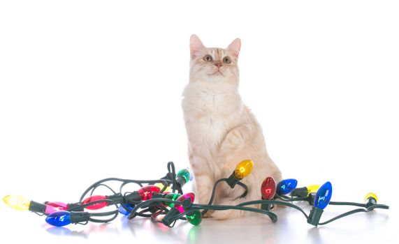 christmas kitten tangled in lights on white background