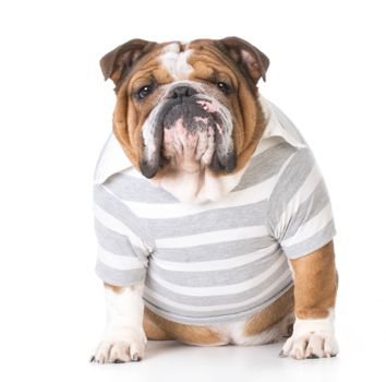 male english bulldog wearing shirt sitting on white background