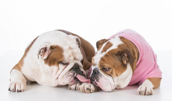two english bulldog kissing on white background