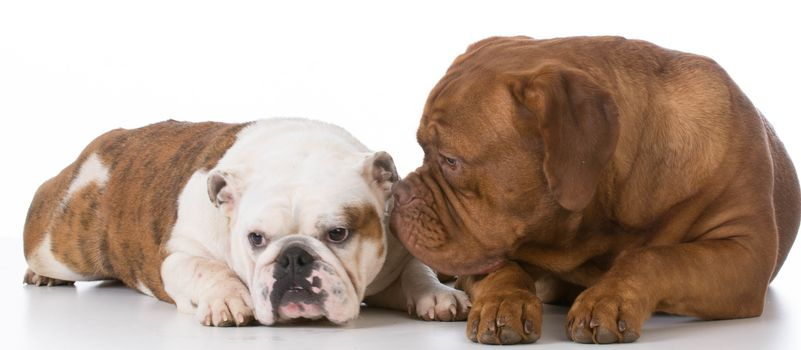 bulldog and dogue de bordeaux on white background