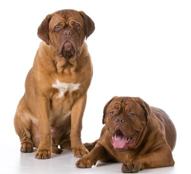 two sad dogue de bordeaux puppies on white background