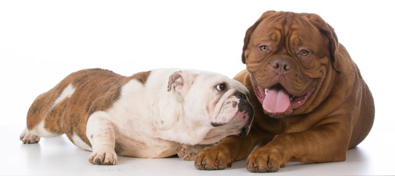 bulldog trying to make friends with dogue de bordeaux on white background