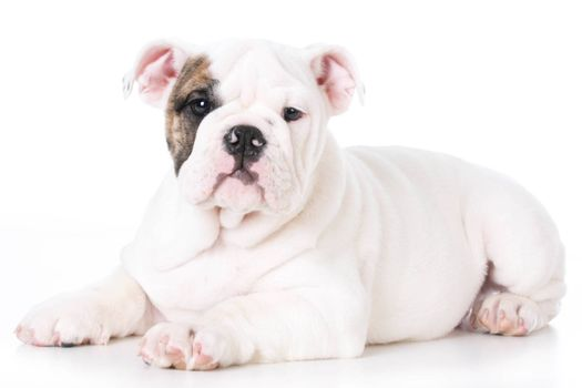 cute english bulldog puppy laying down on white background