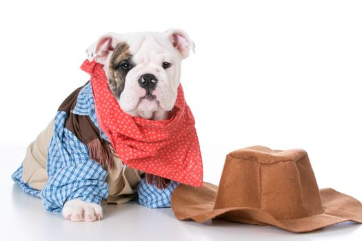 cute english bulldog puppy wearing western cowboy costume on white background