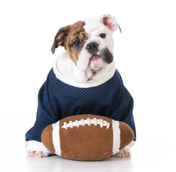cute english bulldog puppy wearing football jersey on white background