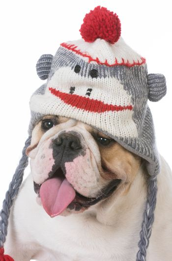 bulldog wearing hat isolated on white background