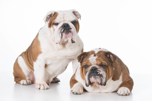 father and son bulldogs on white background