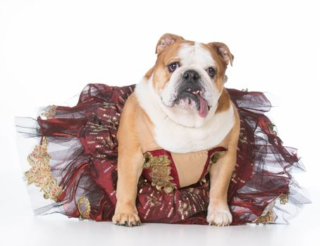 bulldog wearing ballerina costume sitting on white background