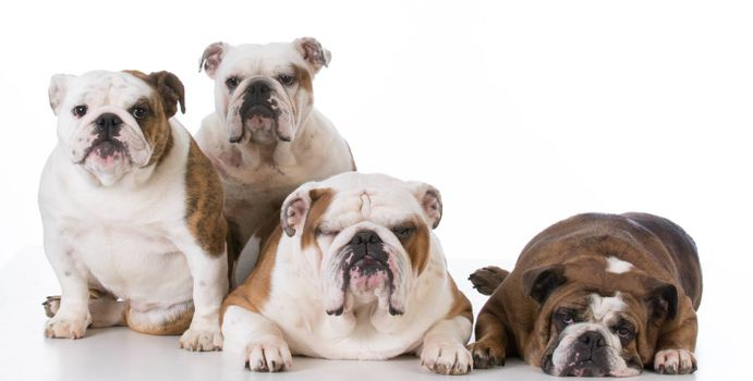 four english bulldogs isolated on white background