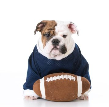cute english bulldog puppy wearing football jersey on white background