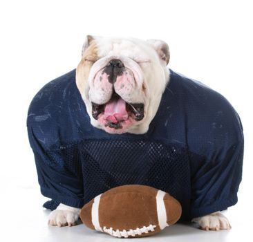 english bulldog wearing football jersey on white background