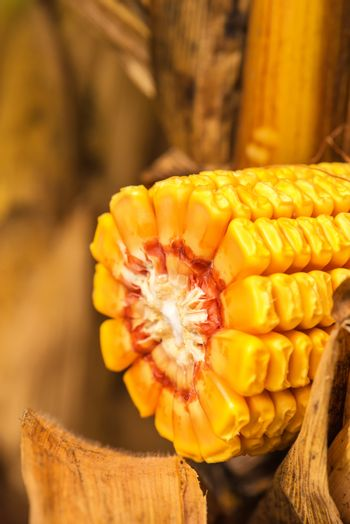 Corn ob with grains cross section