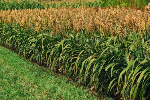 Cultivated sorghum field