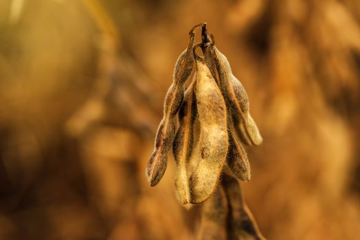 Ripe soybean pods close up
