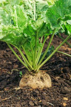 Sugar beet root crop