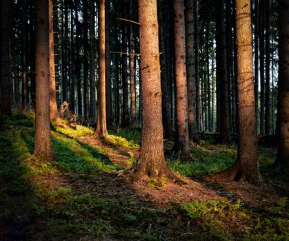 Later in the evening in the spruce forest