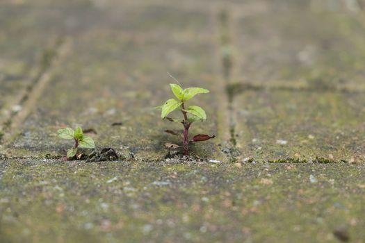Plant growing through paving