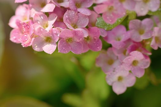Hydrangea with drops  in the sunset in the garden