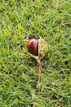 conker in green grass