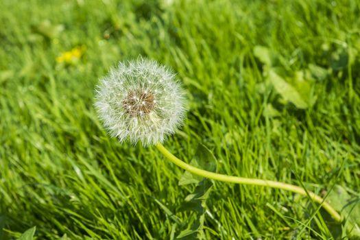 dandelion seed head growing wild