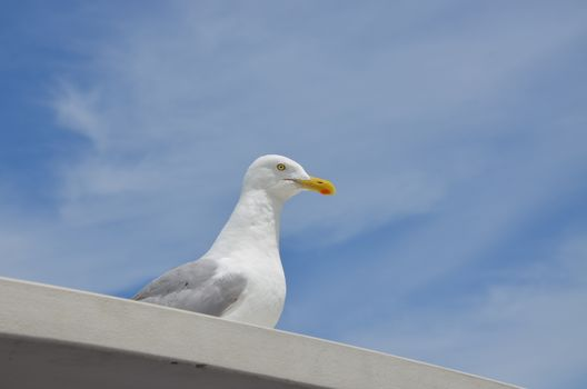 Seagull in the summer time in Maine, sitting on top of a boat.