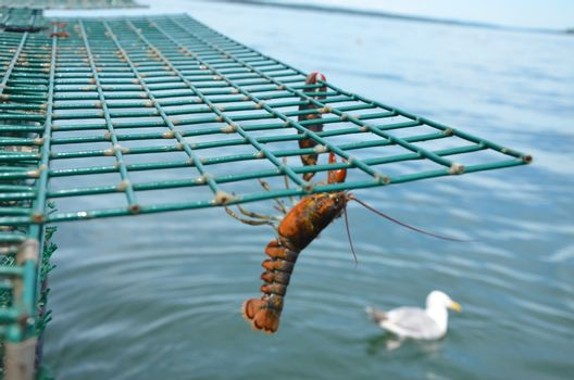 Lobster haging from a trap before being dropped back into the sea. The lobster was too small to keep.