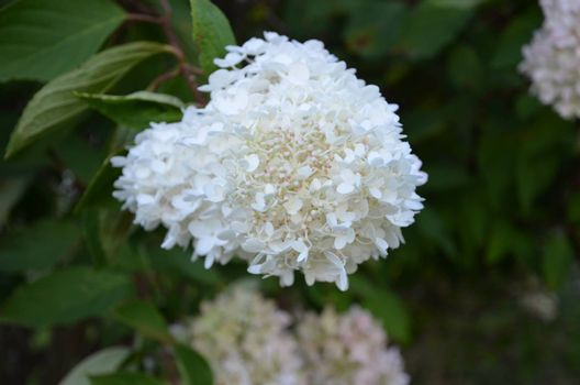 hydrangea plant shown closeup in full bloom