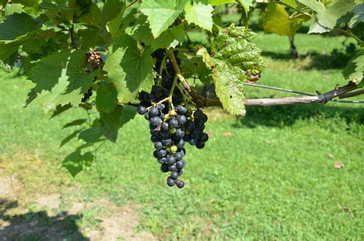 grapes on the vine during the late summer.