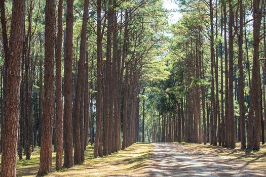Walk way inside the pine tree garden during winter season in Thailand