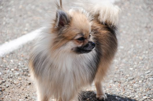 Dog breeds of Spitz on morning walk