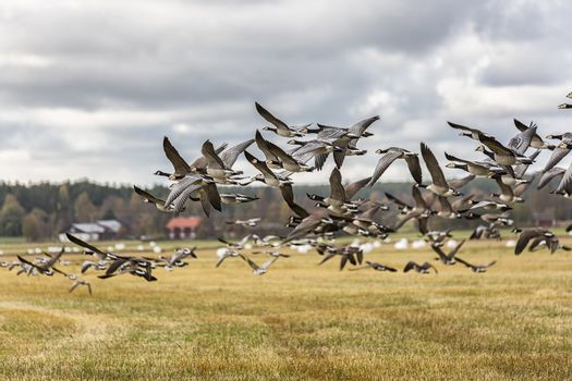 Flock of Canada Geese Flying over farm field.
