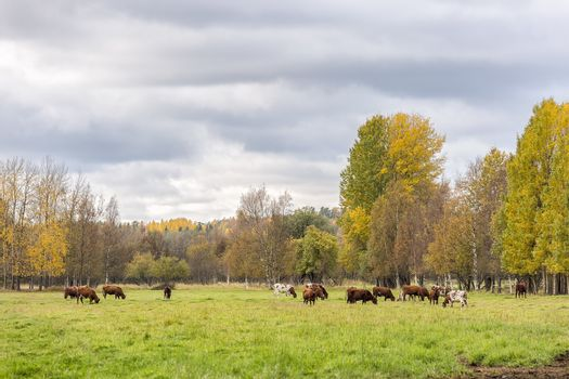 Cows Eating in Field in Autumn.