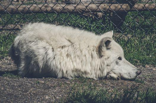White wolf taking a nap