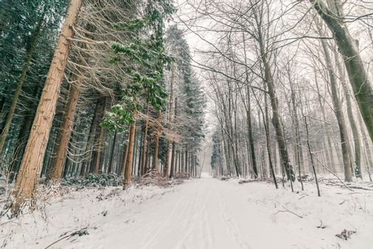 Snow in a forest in Denmark