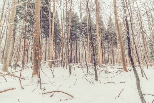 Forest in Denmark with snow
