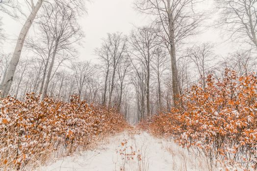 Beech trees in a forest at wintertime