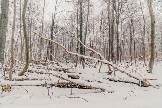 Scandinavian forest in the winter