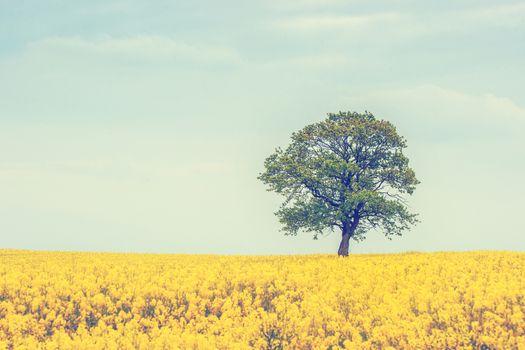 Tree on a rapeseed field