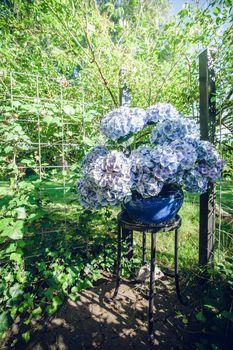 Hortensia flowers in a blue flowerpot