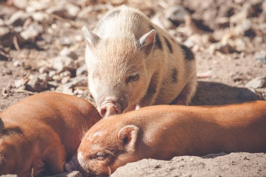 Piglets taking a nap in the sand