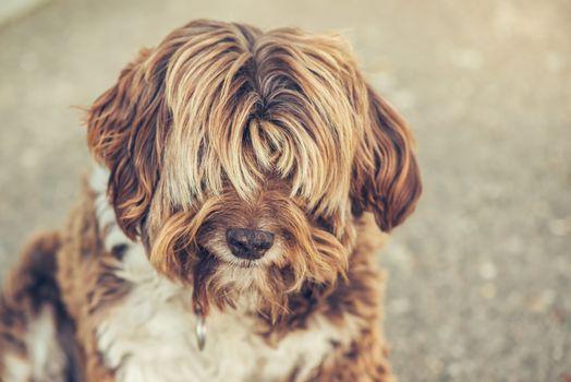 Lhasa Apso old female dog